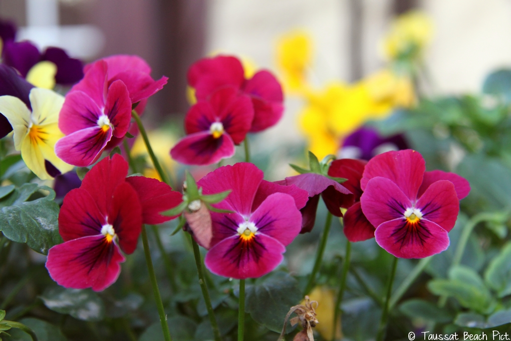 fleure, pensées rose et jaune