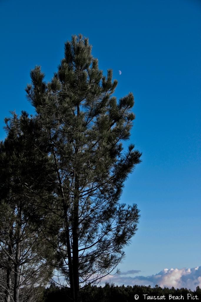 pin foret des landes gironde arbre sapin